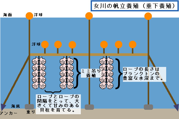 女川の帆立養殖(垂下養殖)