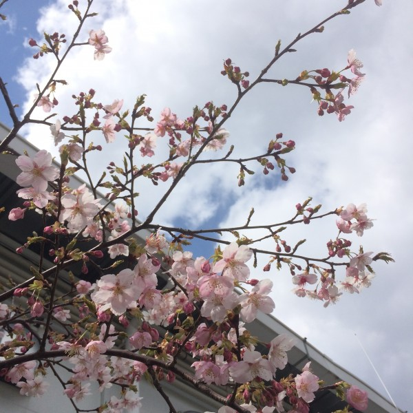 観光協会の桜20160324