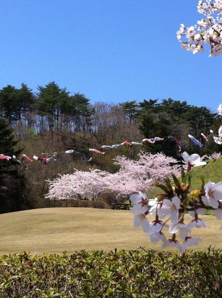 桜と鯉のぼり2012